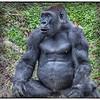 Gorilla: Dallas Zoo