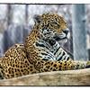 Jaguar - native to south Texas