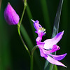 Grass Pink Orchid