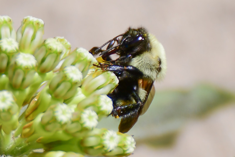 Brown-belted bumble bee (7)