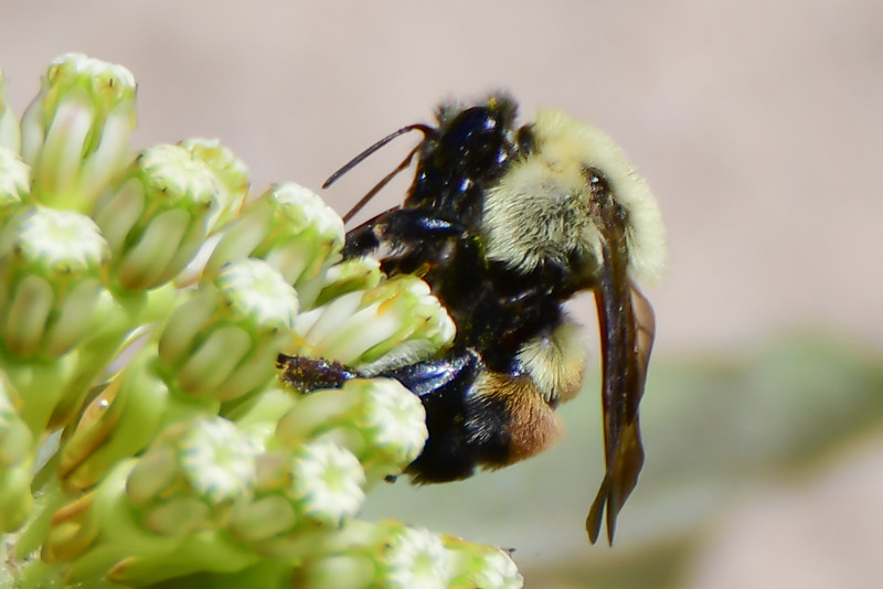 Brown-belted bumble bee (1)