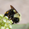Brown-belted bumble bee (6)