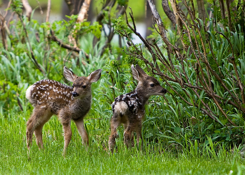Fawns_2