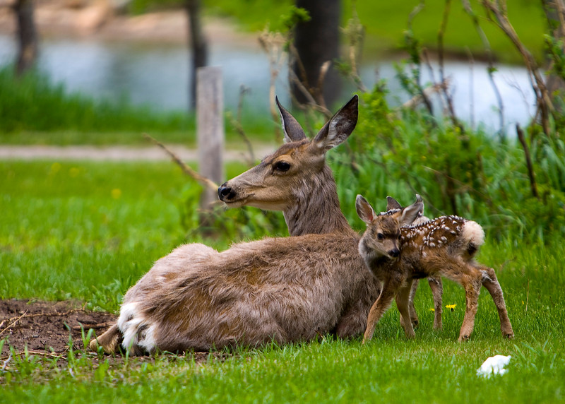 Fawns_3
