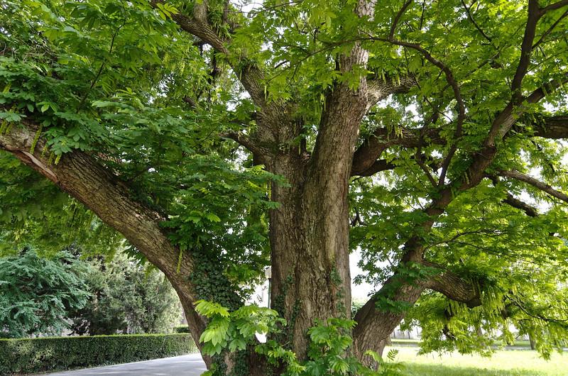 noce del Caucaso / caucasian wingnut or walnut (pterocarya fraxinifolia)