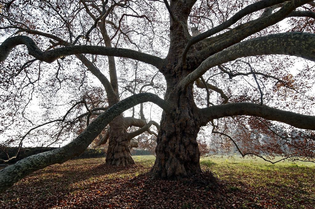 Gli Imbronciati - platani / plane trees (Platanus)