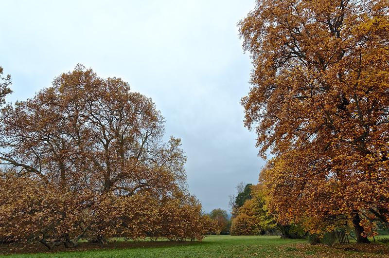 Gli Imbronciati - platani / plane trees (Platanus) e liriodendro / tulip tree