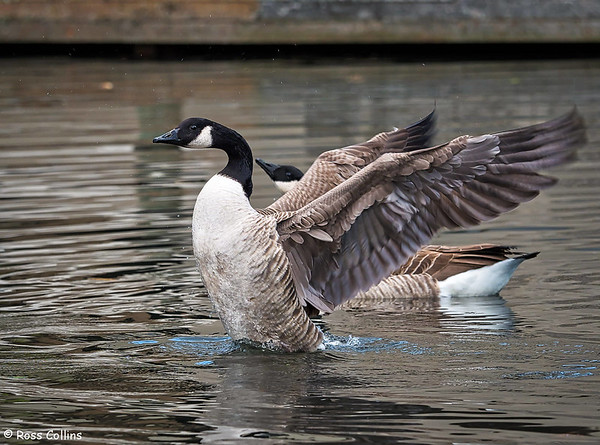 Canada Geese 2018