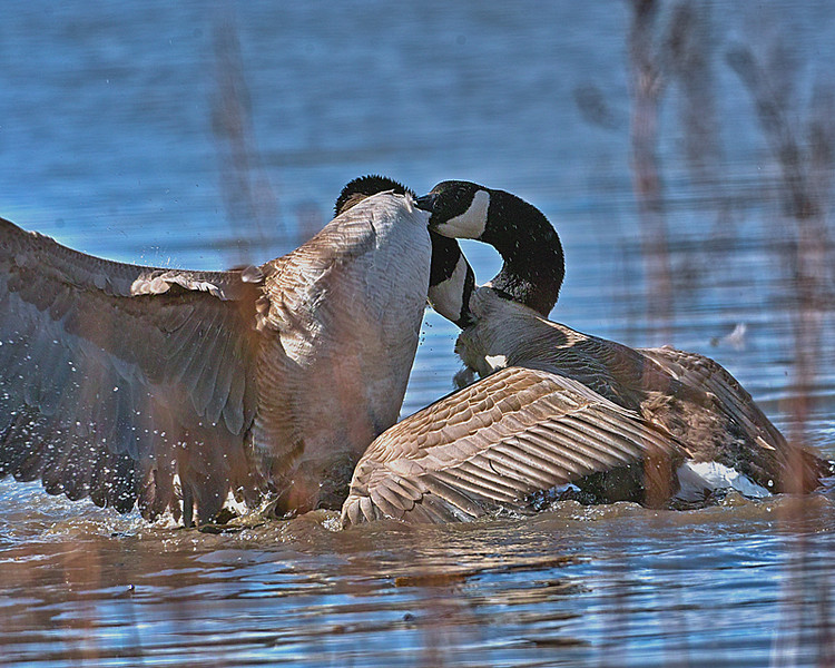 Biting Geese, but still fighting
