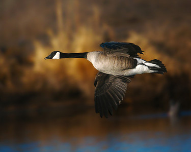 Canada Goose Family. .
