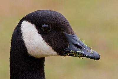 Canada Goose close up portrait