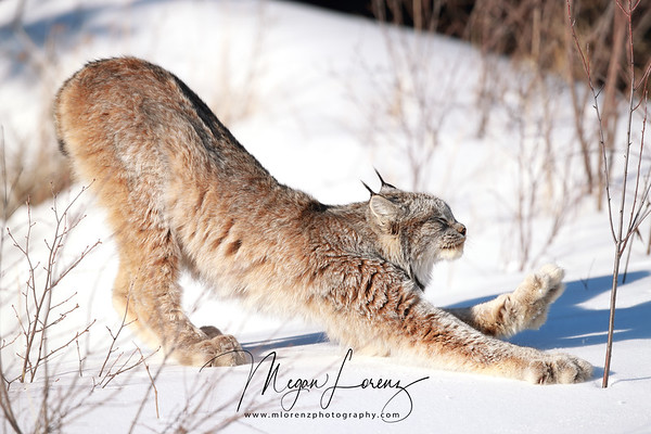 Wild Canada Lynx stretching after rising from a nap in Northern Ontario, Canada.