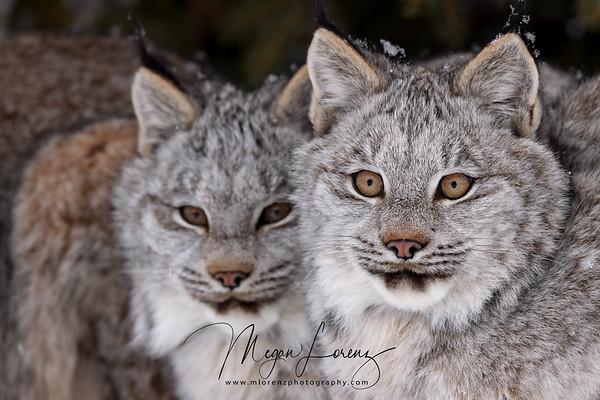 Wild Canada Lynx Kittens in Northern Ontario, Canada.