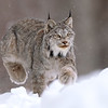 Wild Canada Lynx pouncing in the snow in Ontario, Canada.
