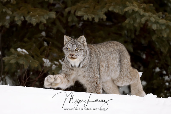 Wild Canada Lynx walking in Northern Ontario, Canada.