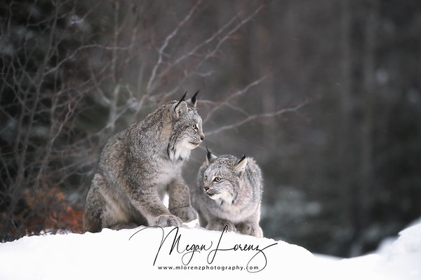 Wild Canada Lynx and her kitten in Northern Ontario, Canada.