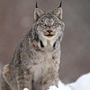Wild Canada Lynx in Northern Ontario