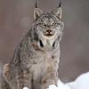 Wild Canada Lynx in Northern Ontario
