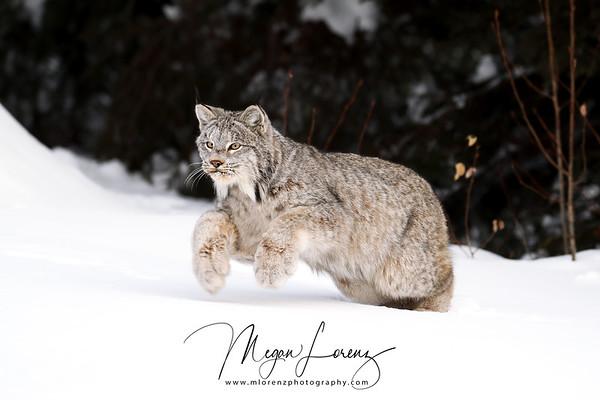 Wild Canada Lynx pouncing in Northern Ontario, Canada.