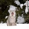 Wild Canada Lynx yawning in Ontario, Canada.