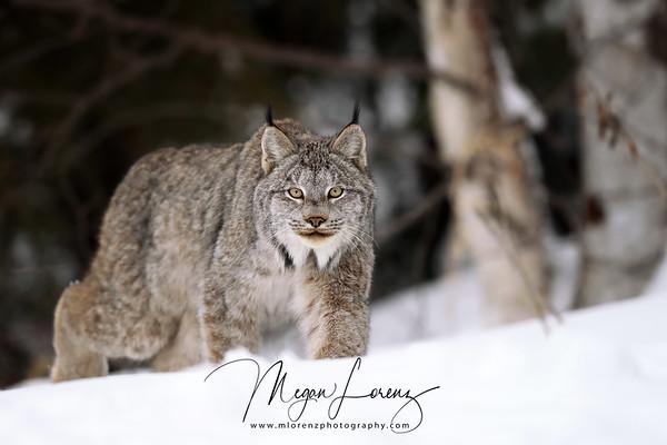 Wild Canada Lynx walking in Northern Ontario, Canada.