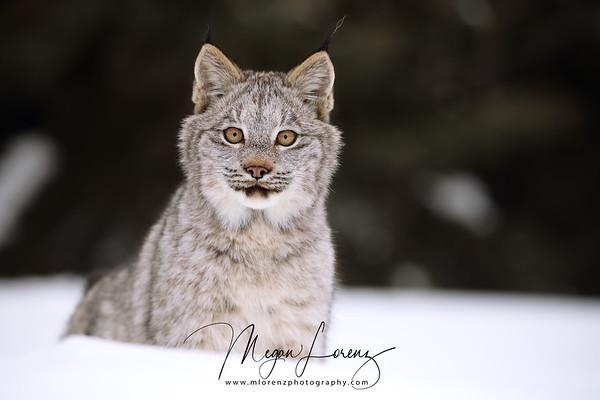 Wild Canada Lynx Kitten in Northern Ontario, Canada.