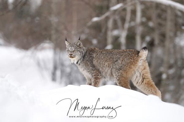 Wild Canada Lynx Female in Northern Ontario, Canada.