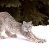 Wild Canada Lynx Kitten stretching in Northern Ontario, Canada.