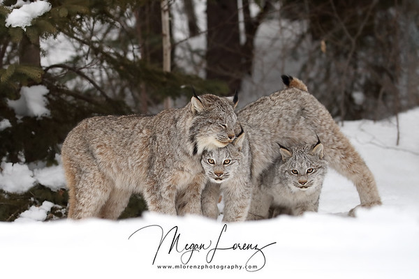 Wild Canada Lynx with her two kittens in Northern Ontario, Canada.