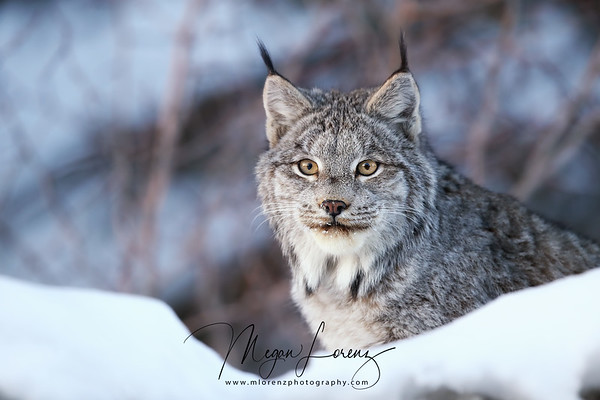Closeup of a Canada Lynx in Northern Ontario, Canada.