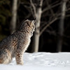 Canada Lynx looking away to the darkness of the forest in Northern Ontario, Canada.