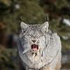 Wild Canada Lynx yawning in Northern Ontario, Canada