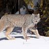 Wild Canada Lynx on the prowl in Northern Ontario, Canada