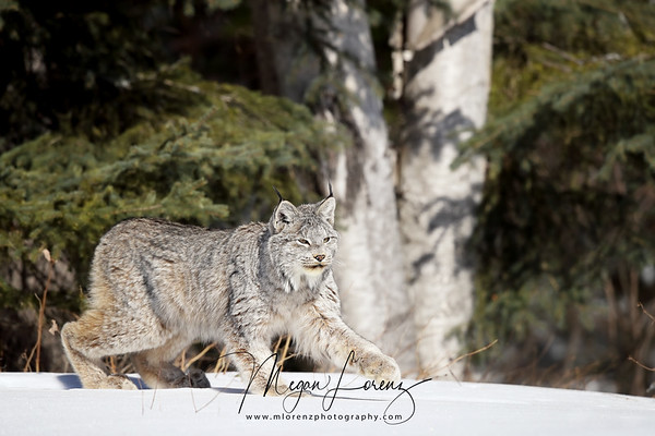 Wild Canada Lynx running in the snow in Northern Ontario, Canada.