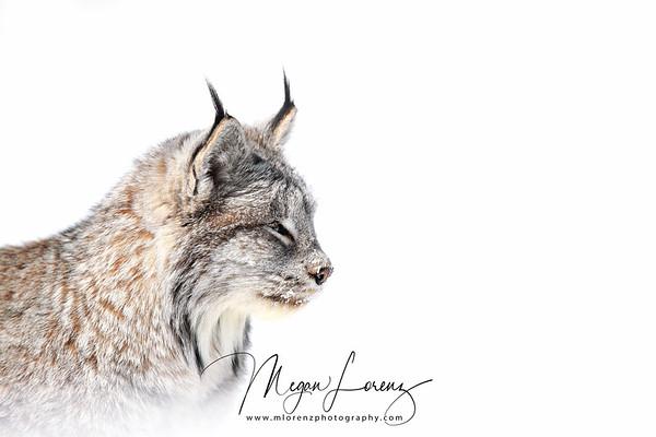 Closeup portrait of a wild Canada Lynx in Northern Ontario, Canada.