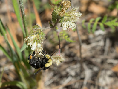 Yellow-Faced Bumblebee on Phacelia