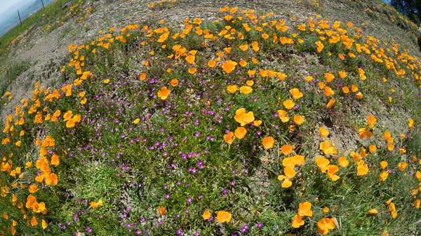 CA Poppies and Red Maids