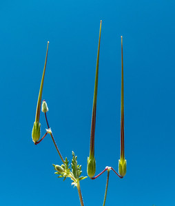 Seed pods of Erodium
