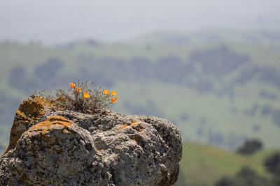 CA Poppies on boulder