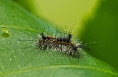 Caterpillar of Tussock Moth