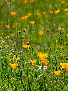 Fiddlenecks and CA Poppies
