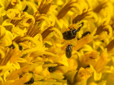 Beetles on Mule Ears