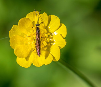 Sawfly (?) on a buttercup