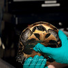Dr. Sue Carstairs the Executive and Medical Director at the Ontario Turtle Conservation Centre holding up a Blanding's Turtle after pit-tagging (microchipping) at the hospital in Selwyn, Ontario.  Blanding's Turtles are listed as Threatened in the Province and Endangered in Canada.