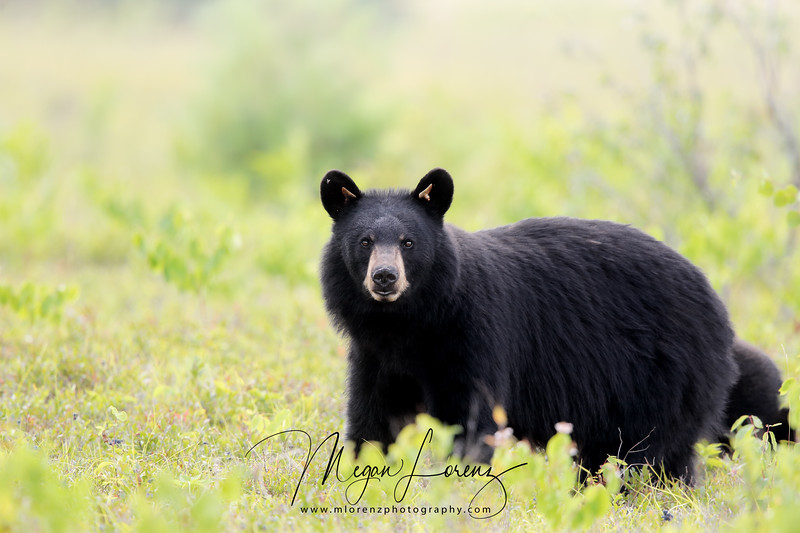 Black Bear Sow in a blueberry field in Algonquin Provincial Park