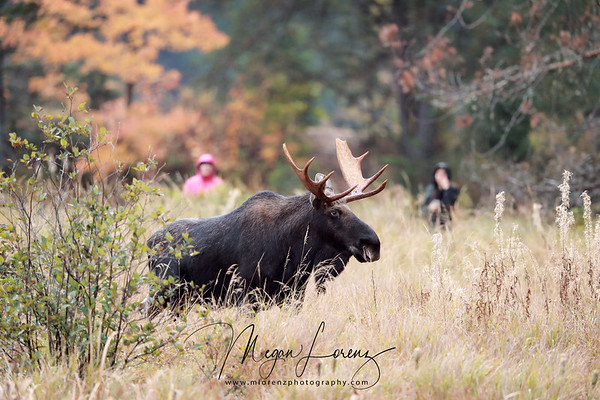 People walking along a trail on the Hwy. 60 Corridor stop to watch a Bull Moose during the rut.  This was taken with a Canon 500mm lens and 1.4 extender making them appear closer than they were.  It's  important to maintain distance from Moose all through the year but especially during breeding season.