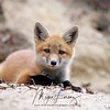 Curious Fox Kit in Algonquin Provincial Park