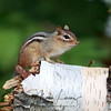 Chipmunk close to the Spruce Bog trail in Algonquin Provincial Park