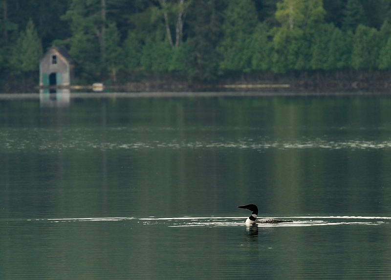 Loon on Canadian Lake, August 2007.