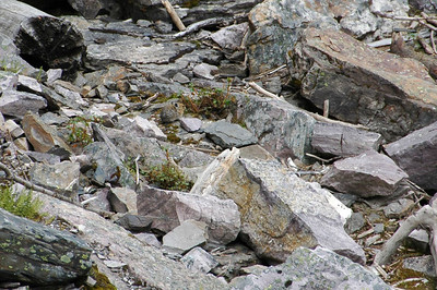 Can you find the pika?
